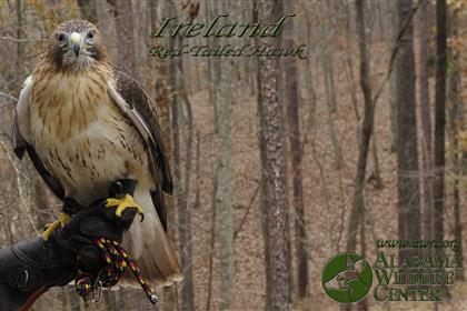 Ireland the Red-Tailed Hawk